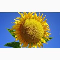 Насіння соняшнику Антей