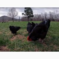 ЯЙЦО куриное инкубационное Джерсийский гигант ( черный )