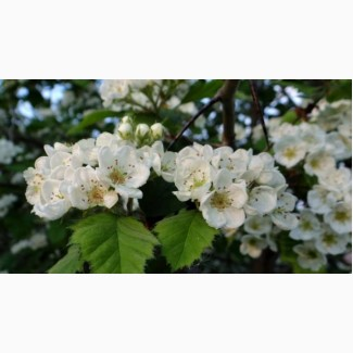Закупаем цвет с листом боярышника.сухой по Украине.цвет бузины.липы
