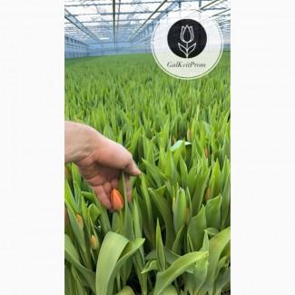 Голландский тюльпан и от производителся