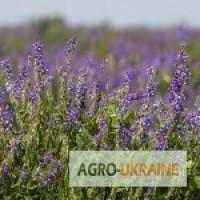 Продам семена Козлятник восточный медоносы Украины