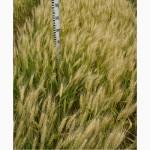 Семена пшеницы озимой - сорт Смуглянка. Элита и 1 репродукция