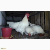 Инкубационное яйцо курицы Бресс Гальской