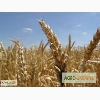 Пшеница семенная 1-2 репродукции, подтверждена сертификатом и документами.Оплата любая