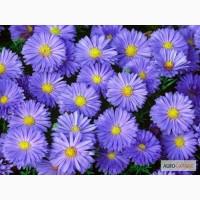 Астра Новобельгийская крупноцветковая васильковая