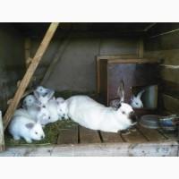 Пропоную кролі