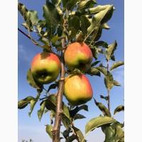П.п Українське Яблуко продасть яблуко з саду сорт Целєсте чудового вигляду і смаку