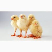 Заводские цыплята бройлеры КОББ 500 в Одессе и области