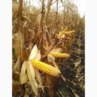 Высокоурожайный гибрид кукурузы Монблан