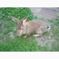 Домашние кролики живым весом и на мясо.порода фландр натур.корма вес от 2 до 9 кг