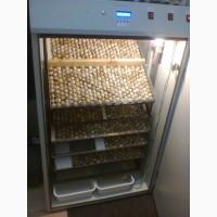 Инкубационные яйца перепелиные Техасский бройлерный