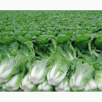 Продам пекінську капусту оптом від 100 тон