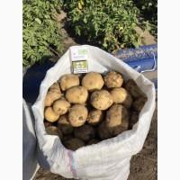 Продам молодой картофель оптом от 10 тонн