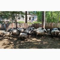 Продаем баранов, овец, ягнят Романовской мясной породы на мясо