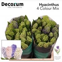 Hyacinth, Геацинт, ОПТ, Киев, к 8 Марта, Украина