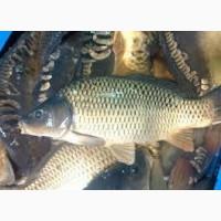 Продаем свежую живую рыбу сом, карп, амур, карась