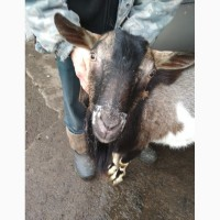 Продам елітного альпійського козла