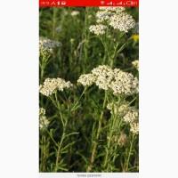 Закупаем лекарственые травы тысячелистник, череда, листья сенны, чистотел, зверобой