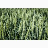Посівний матеріал озимої пшениці ТОБАК (1репродукція)