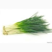 Продам оптом зелена цибуля перо