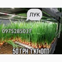 ПРОДАМ ЛУК (Перо)35-45 грн /кг Днепр