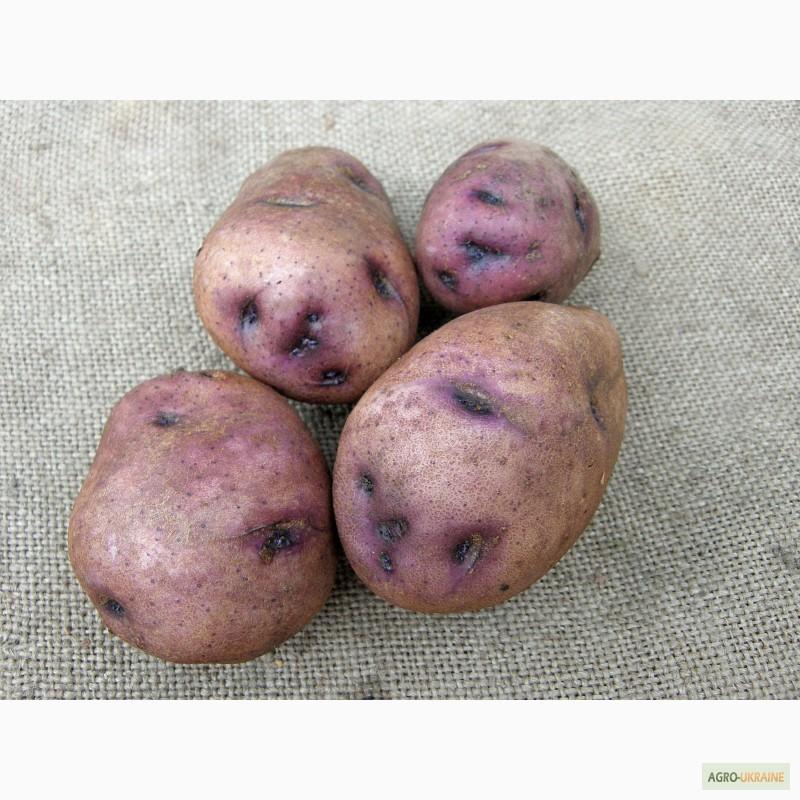 работу можно картофель синие сорта описание фото отзывы советуют выбирать такой