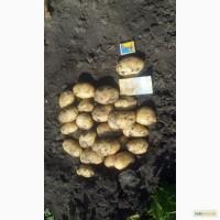 Продам посадочный картофель Аладін Ривэра Тырас. Летана и другие