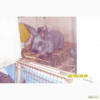 Продам кроликов породы Новозеландская белая и серебристые