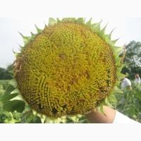 Посев матерял, высококачественные семена Подсолнечника МИР (масляный) 1р. 95 дней