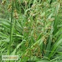 Зубровка трава 10 грамм