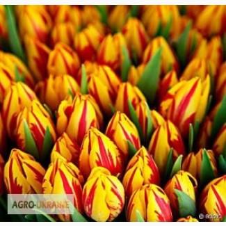 Голландские тюльпаны оптом и в розницу на 8 марта