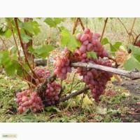 Продам саженцы современных сортов винограда