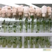 Микроклонирование растений, саженцы in vitro