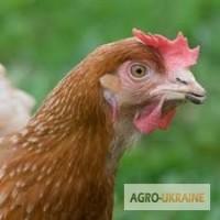 Продам яйця курячі інкубаційні породи Мастер, Редбро, Голошийка і Гріз Барр