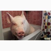Продам свиню домашню