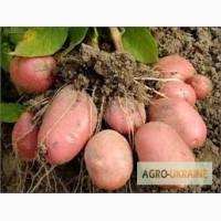 Картошка для посадки оптом