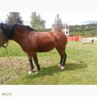Продається жеребна плимінна кобила