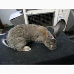 Кролики породы Бельгийский Великан (Фландр, Ризен)