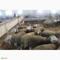 Продам овец Меринос