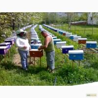 Продаю Бджоломатки карпатської породи