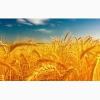 Куплю ячмень, пшеницу, кукурузу