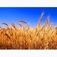 На постоянной основе покупаем сою рапс кукурузу подсолнечник лён рожь пшеницу дурум Макуха