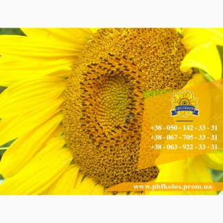 Семена подсолнечника / Насіння соняшника Чародій