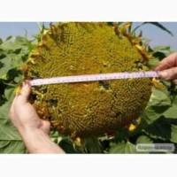 Семена подсолнечника Солтан соняшник (Гранстар)