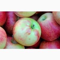 Продаємо яблука різних сортів