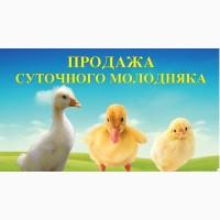 Молодняк птиці (суточні та підрощенні)