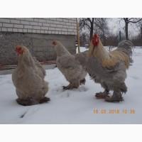 Інкубаційні яйця та курчата