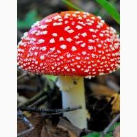 Продам настойку гриба мухомор