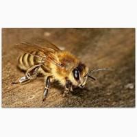 Продам пчелы Карника