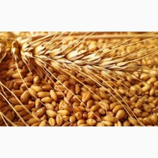 Закуповуємо у сільгоспвиробників зерновідходи пшениці, по Миколаївській області